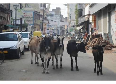 cows in street